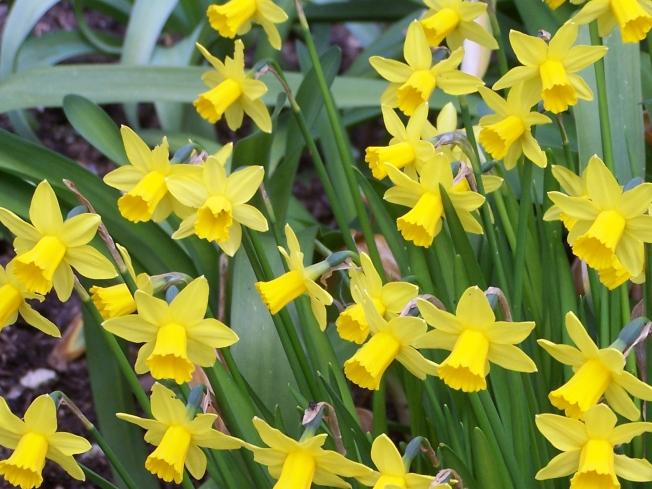 Daffodils @ Highdown (2)