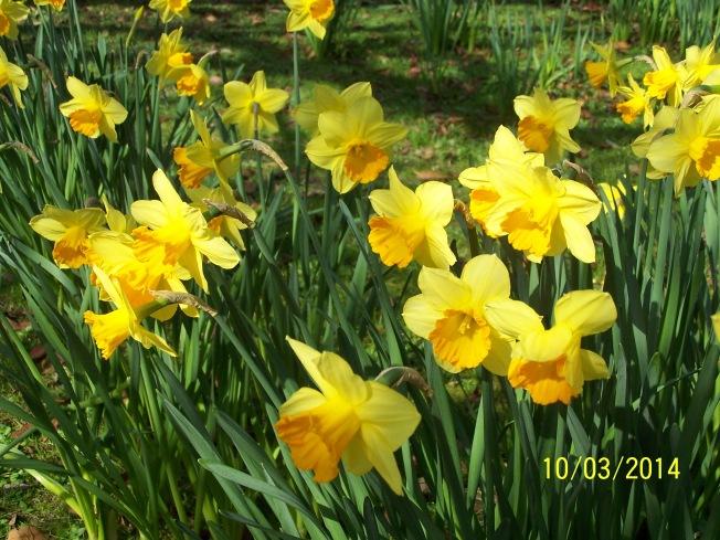 Daffodils @ Highdown (5)