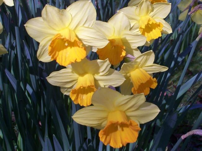 Daffodils @ Highdown (6)