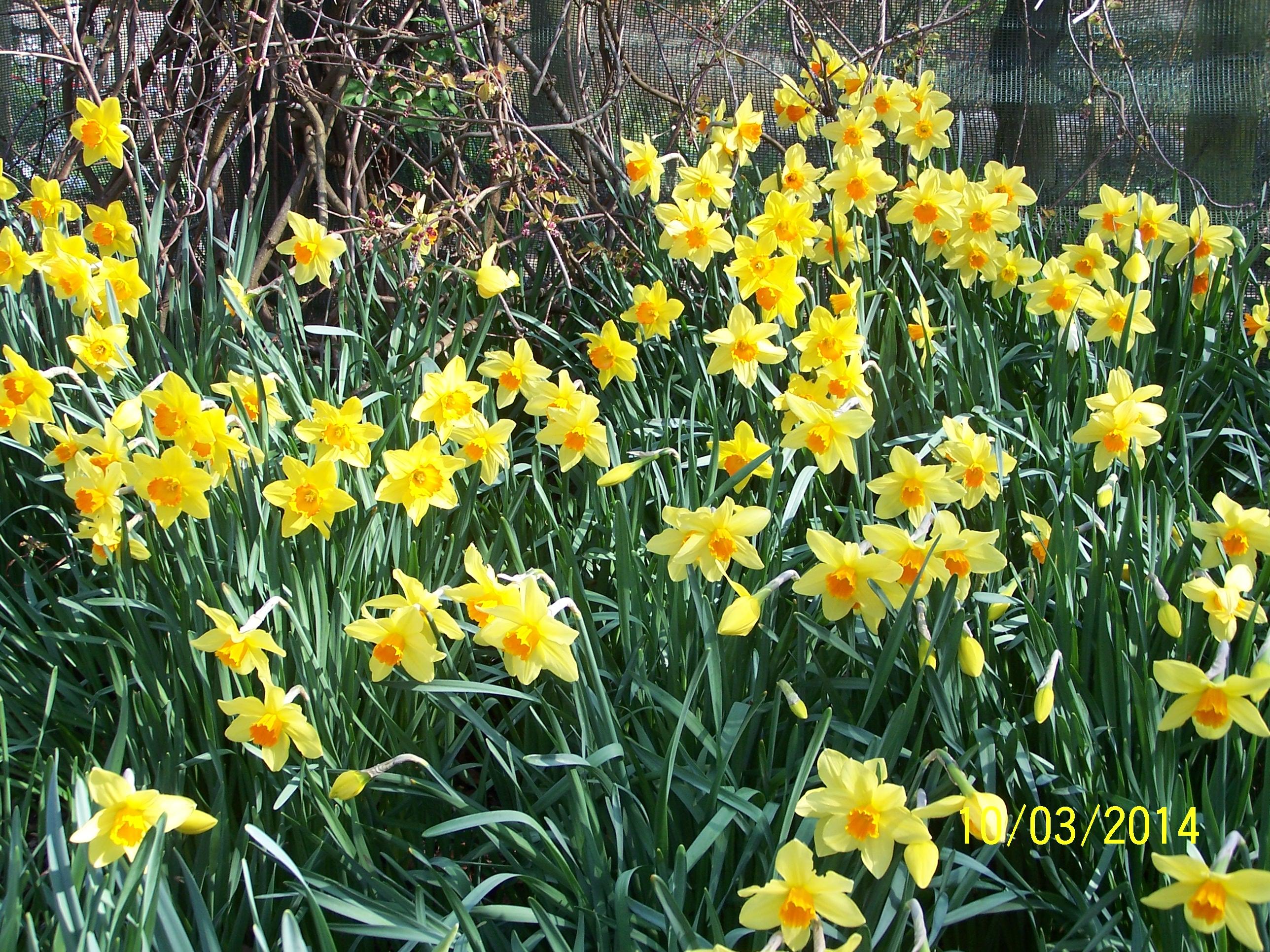 Daffodils @ Highdown (9)