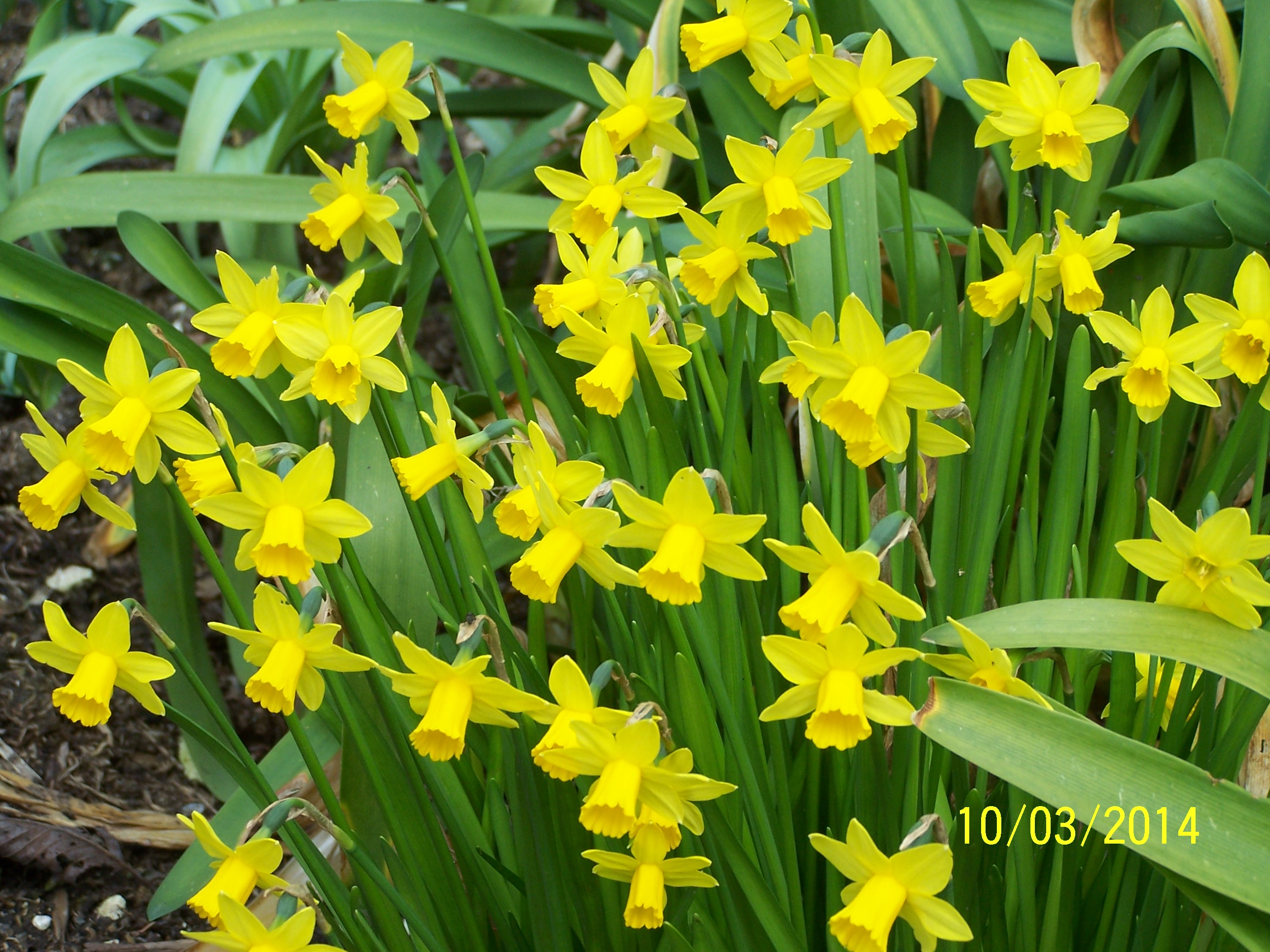Daffodils @ Highdown