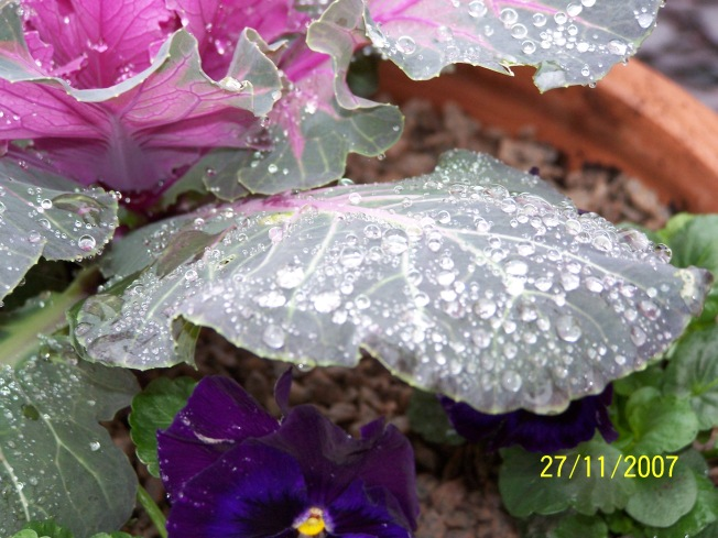 Raindrops on kale-3