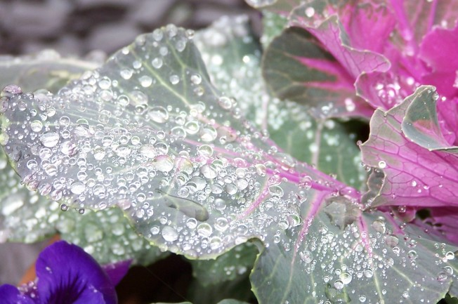 Raindrops on kale-5