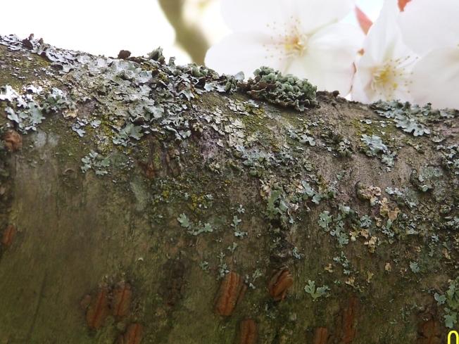 Lichen on apple tree