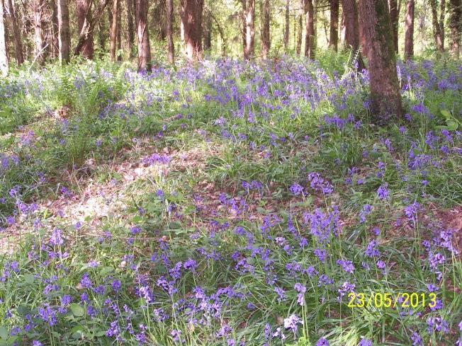 Bluebells in Clapham Woods1