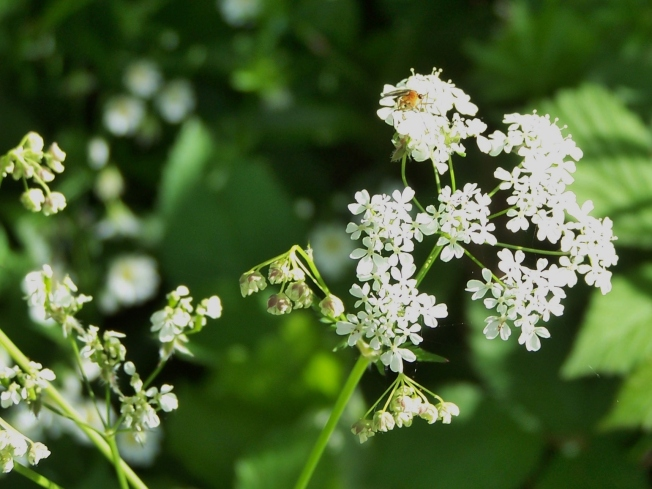 Bug on Cow Parsley in Clapham Woods1