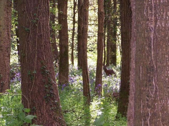Deer in Clapham Woods