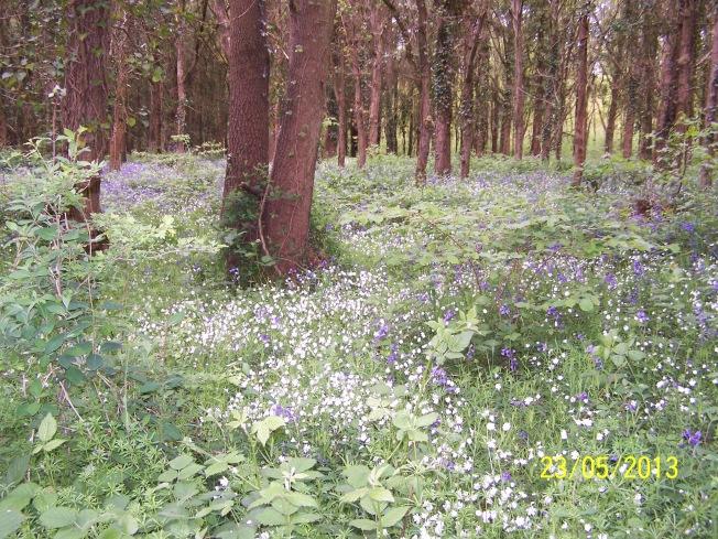 Greater Stitchwort & Bluebell in Clapham Wood3