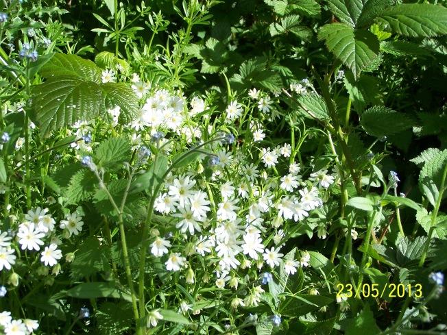 Greater Stitchwort & Speedwell in Clapham Woods