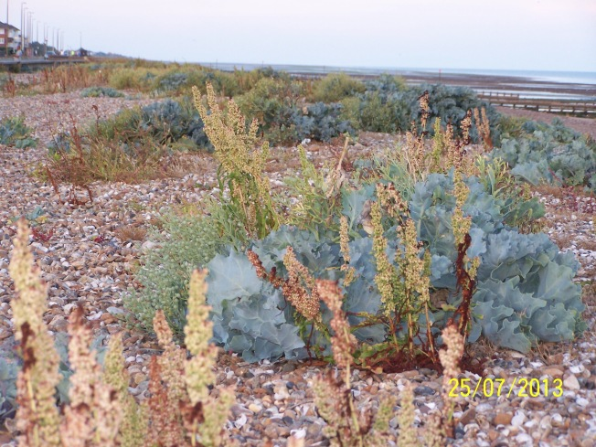 Plantain & Sea Kale on L'ton beach