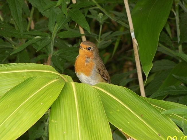 Cheeky robin2