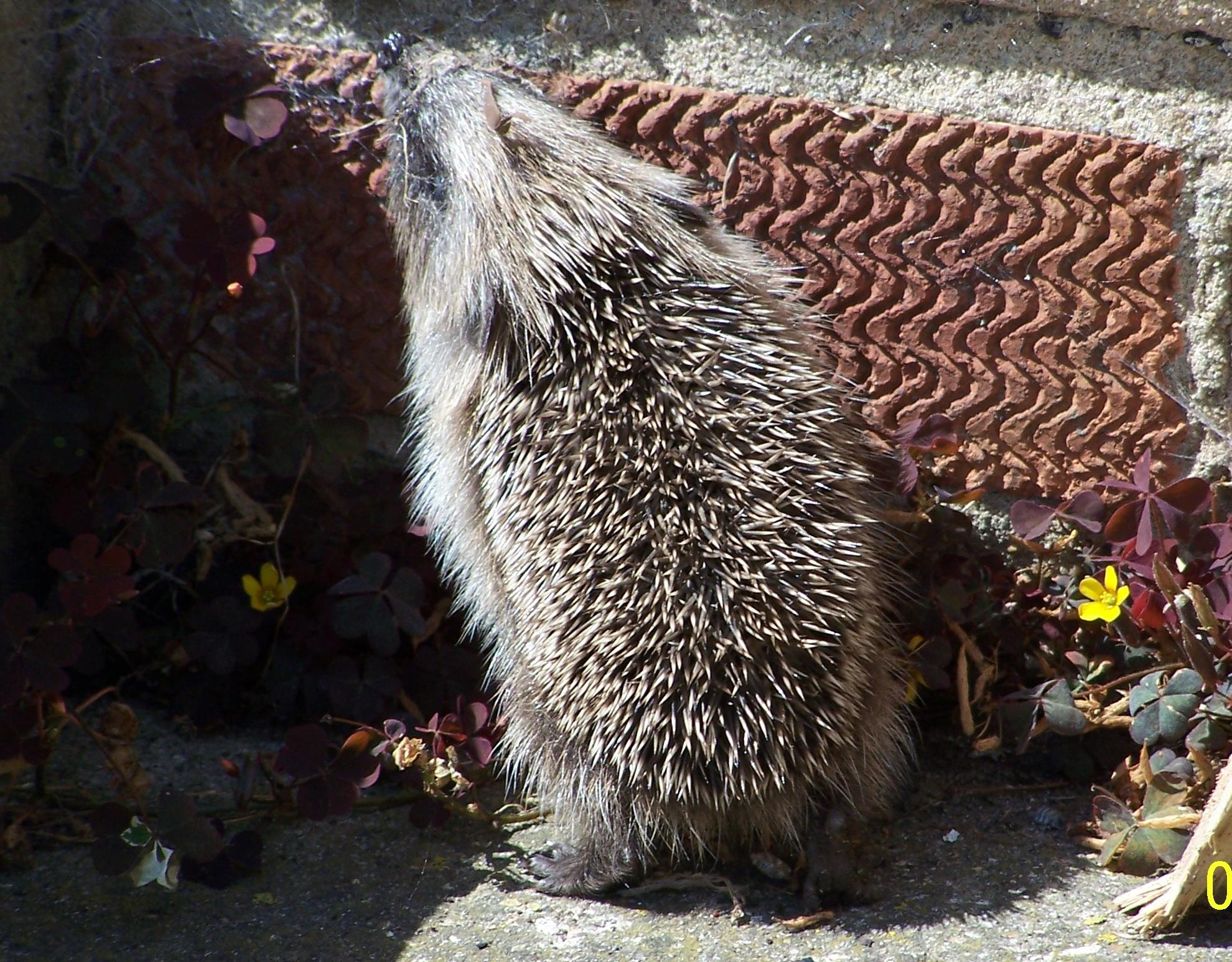 Baby hedgehog (11)
