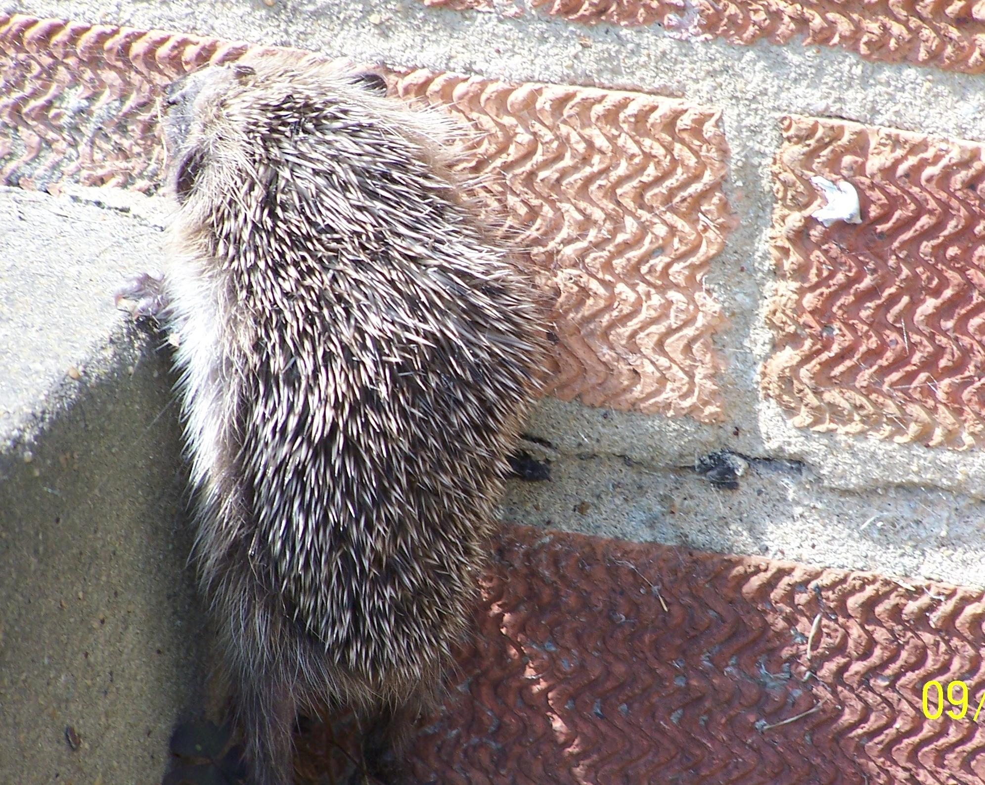 Baby hedgehog (15)