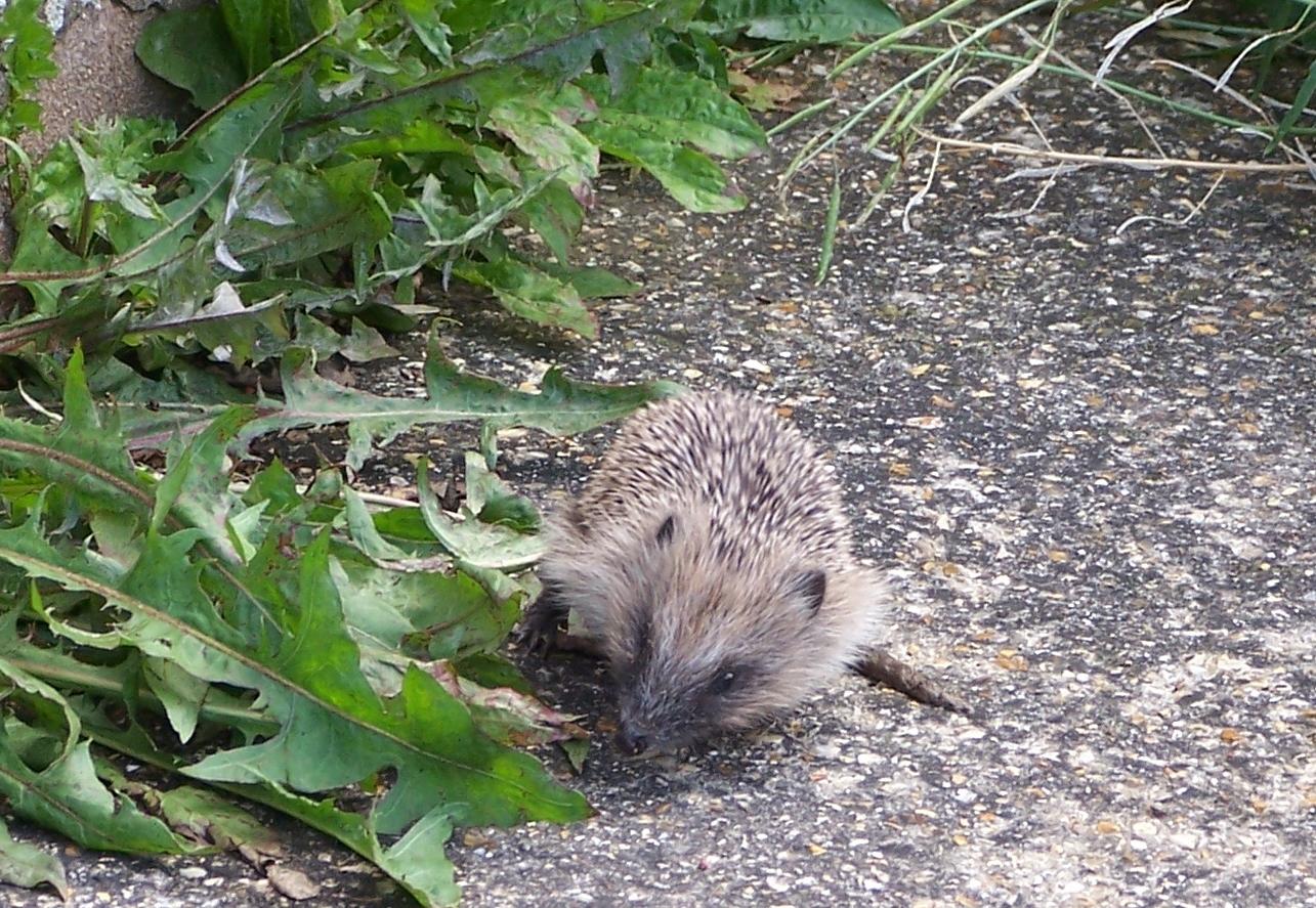 Baby hedgehog (2)