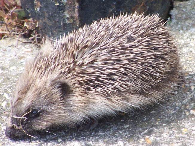 Baby hedgehog (22)