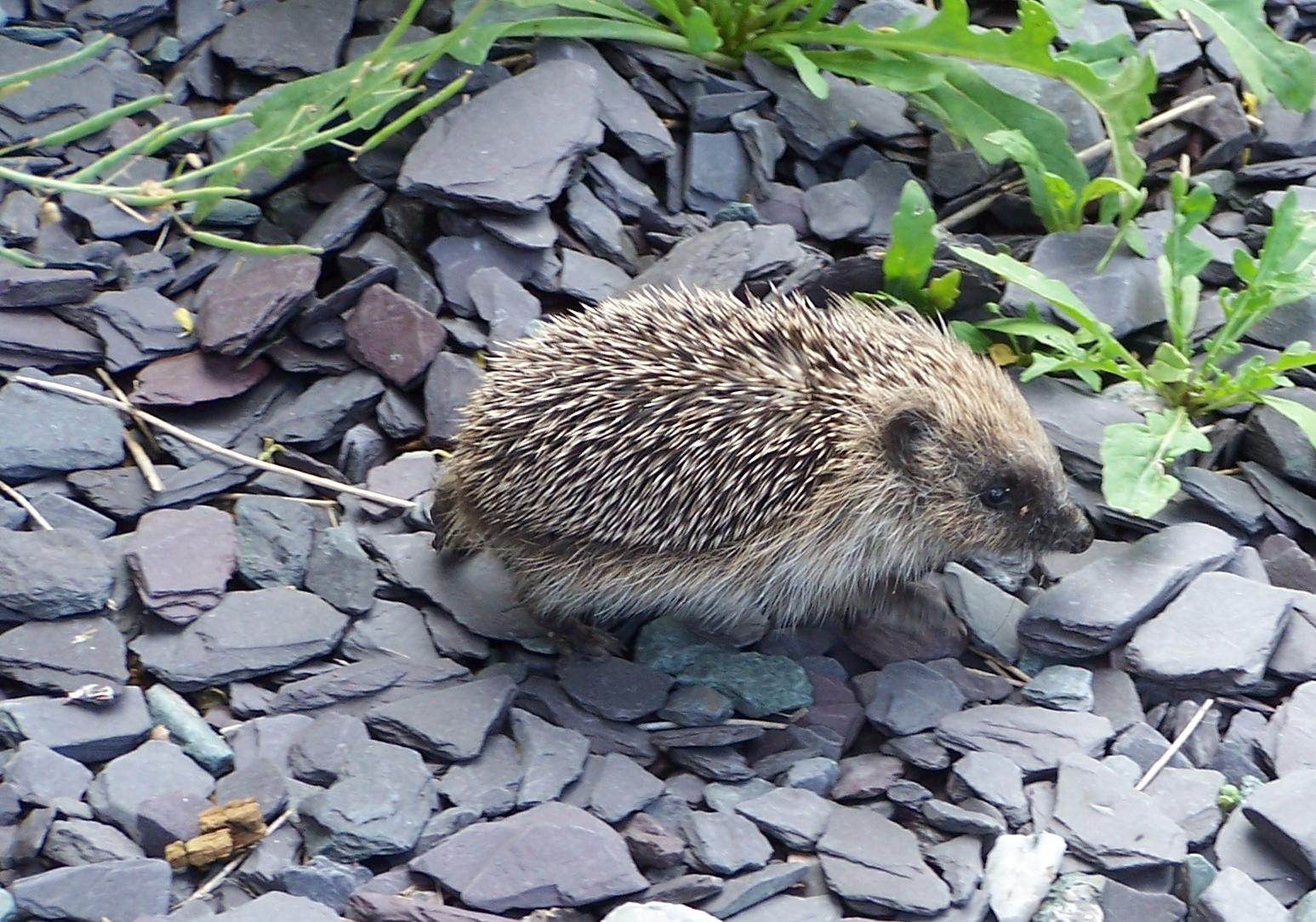 Baby hedgehog (5)