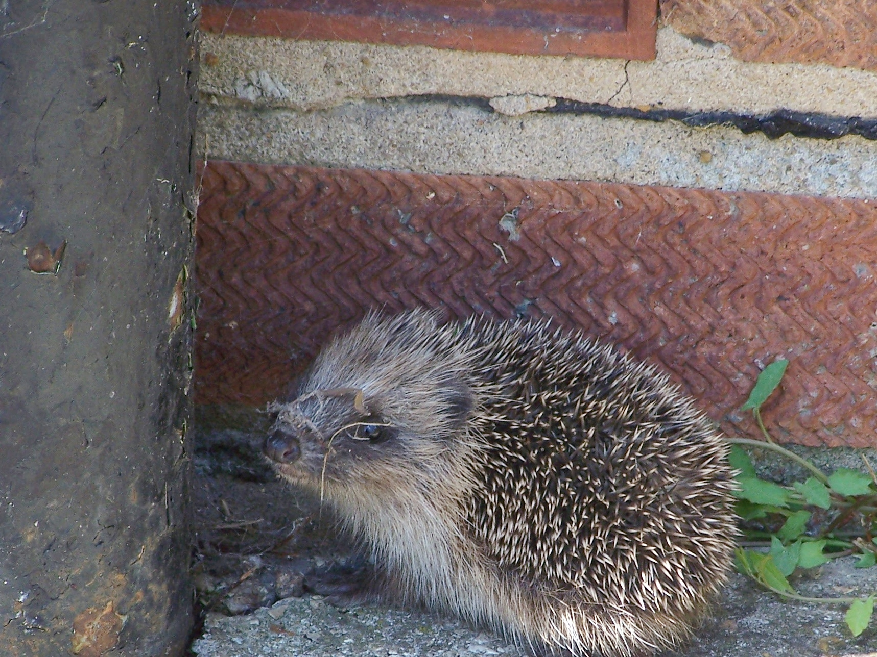 Baby hedgehog (7)