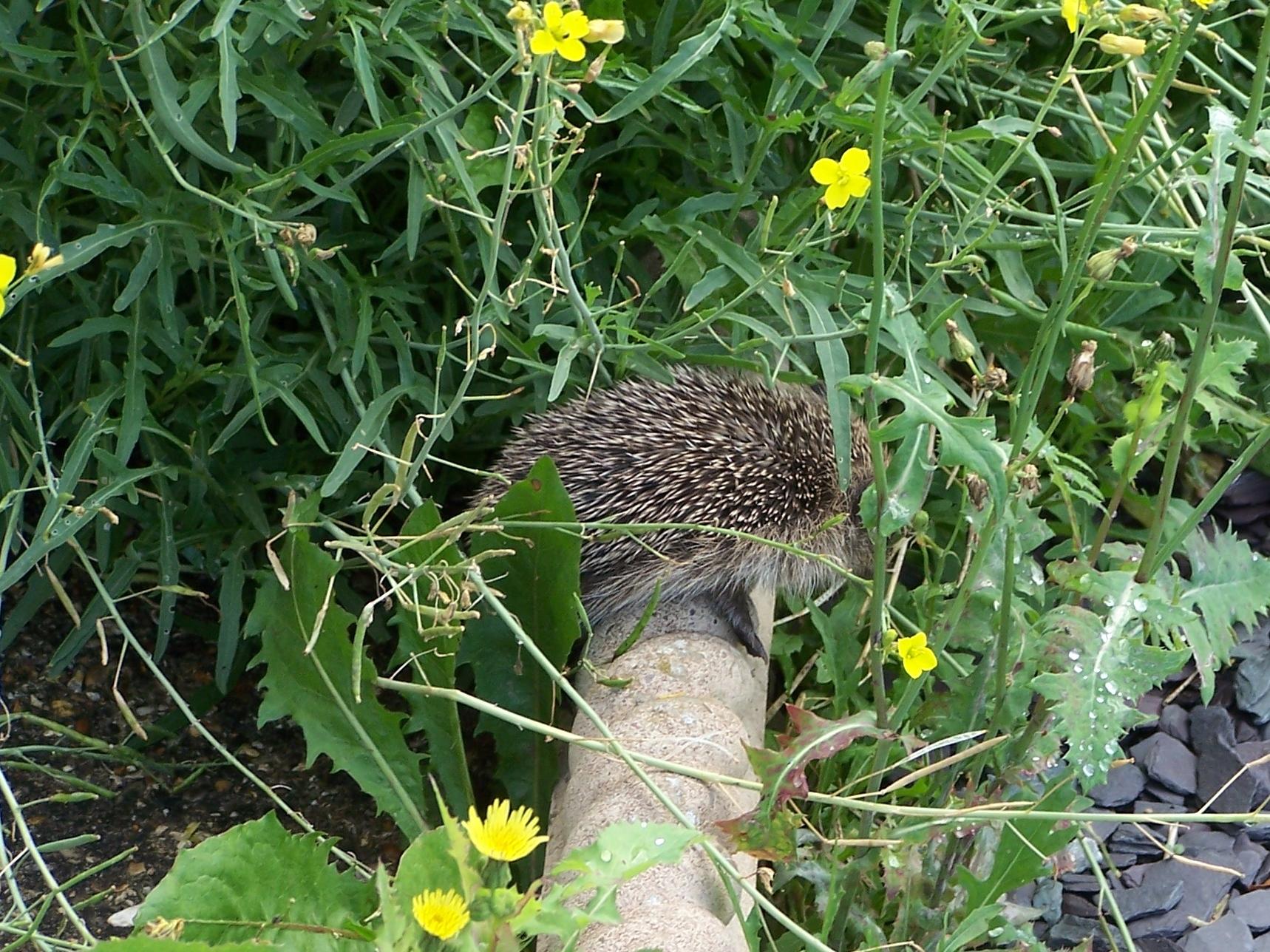 Baby hedgehog in rocket