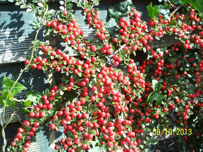 Cotoneaster berries i the garden