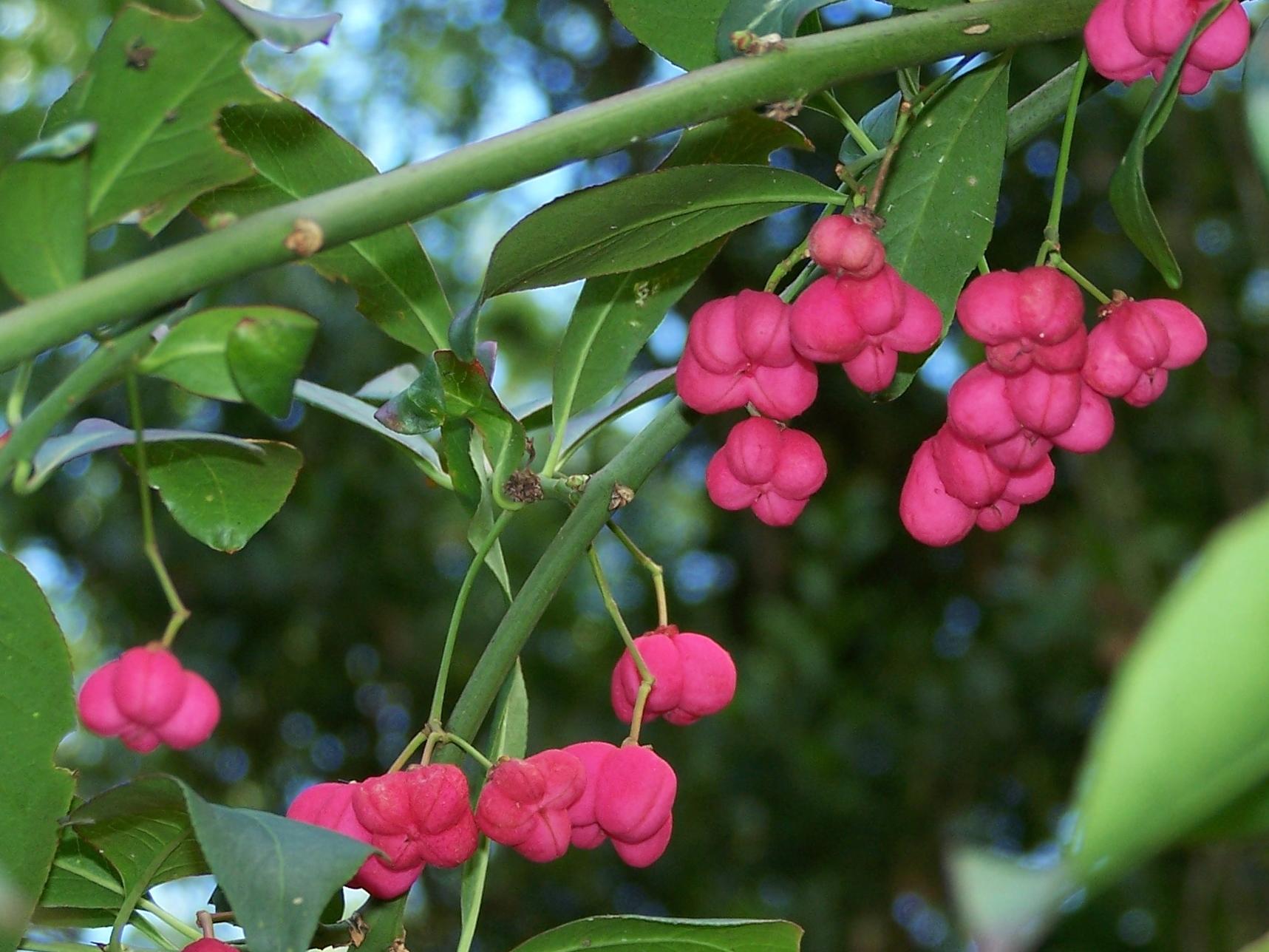 Spindle berries @ Highdown (2)