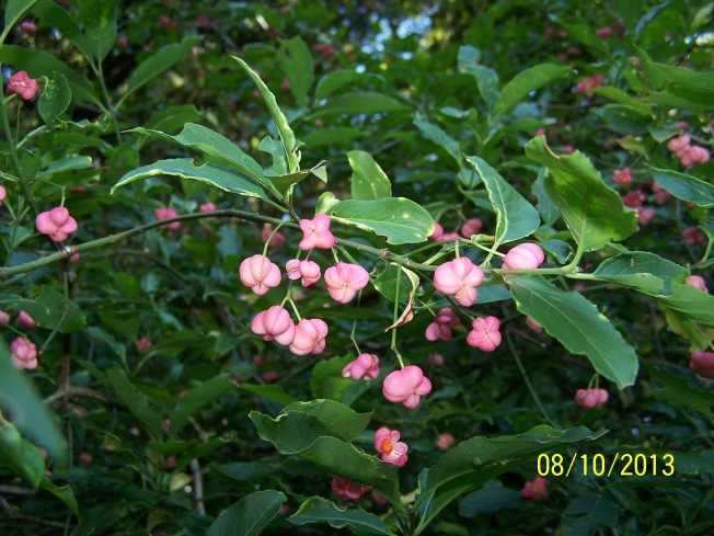 Spindle berries @ Highdown (6)