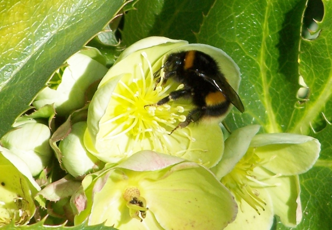 Bumblebee on hellebore6