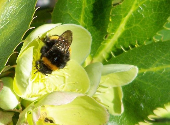 Bumblebee on hellebore8