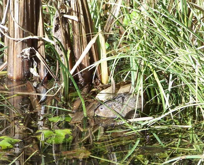 Water vole @ Highdown