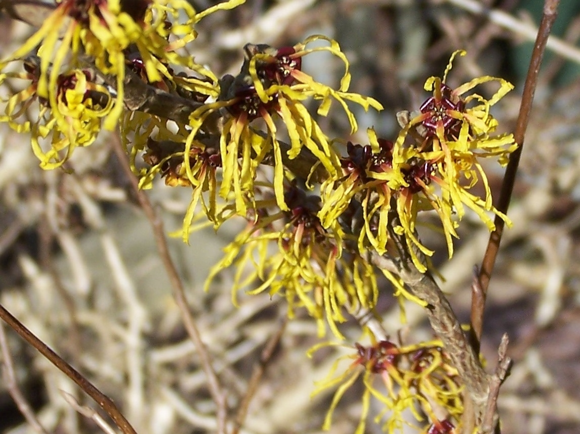 Witchhazel flowering1
