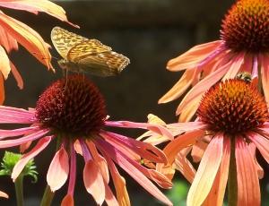 Fritillary & bee on rudbeckia1
